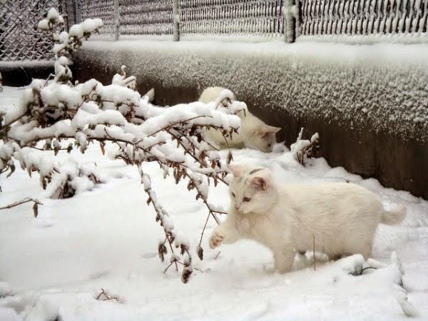 Белые кошки играют