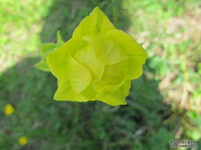 flori galbene: bulbuc de munte