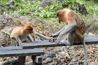 Носачи на Борнео