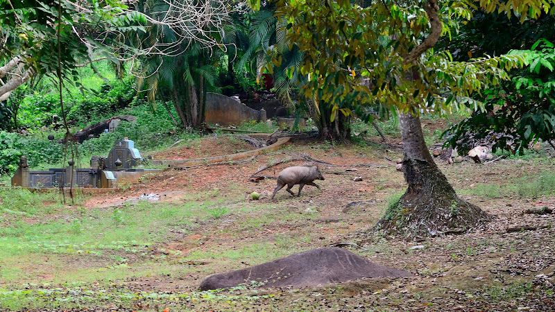 large wild boar running away