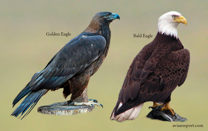 How to Tell a Juvenile Golden Eagle from a Juvenile Bald Eagle