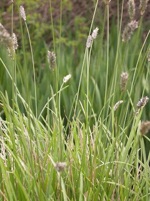 Sesleria autumnalis