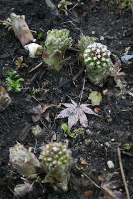 Petasites frigidus flowers