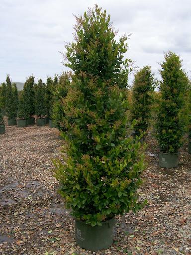árboles columnares árbol columnar comlumna topiaria ejemplar aislado