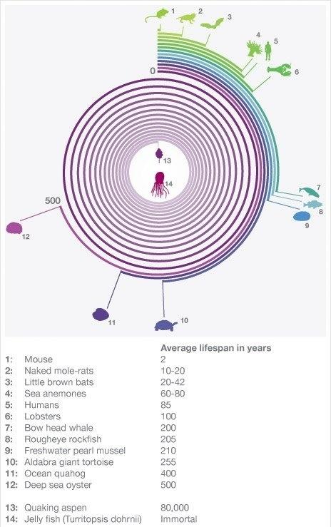 Average Lifespan : Jellyfish Win!