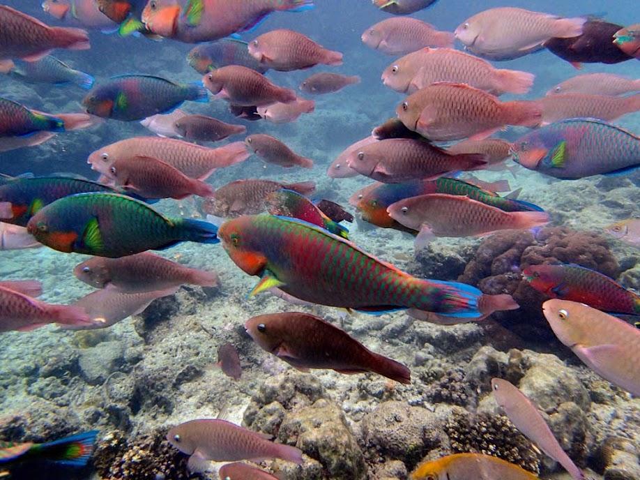 Scarus rivalatus (Surf Parrotfish), Miniloc Island Resort reef, Palawan, Philippines.