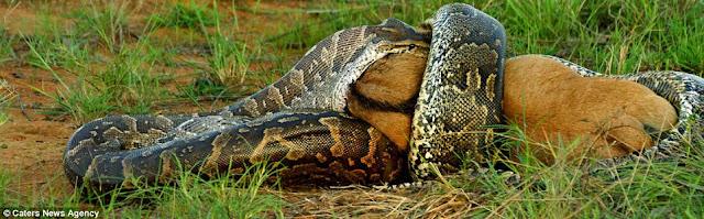 Aksi ular sawa Afrika Selatan telan anak seladang dirakam