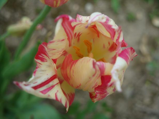 тюльпан красивый