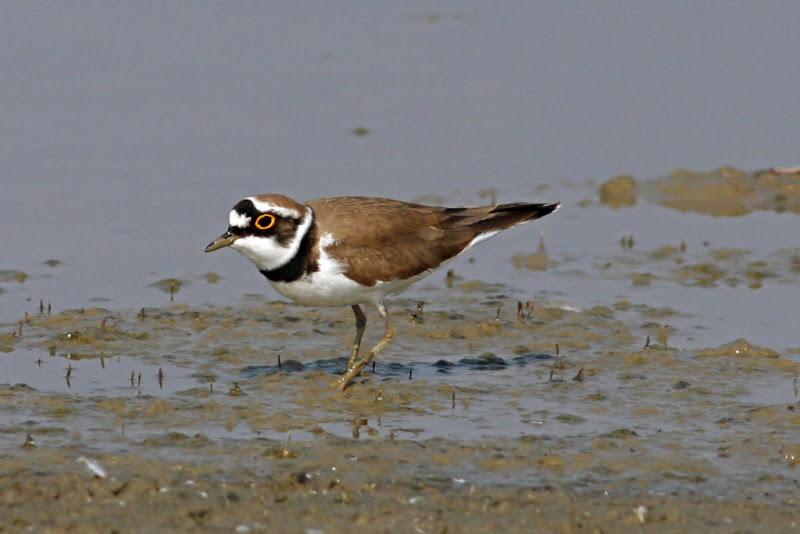 Prundaras gulerat mic pasari birdwatching namol Rodeanu Ialomita wildlife migratie