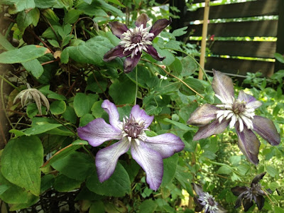 clematis Raymond Evison Collection