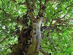 Знакомтесь: Джаботикаба это виноградное дерево