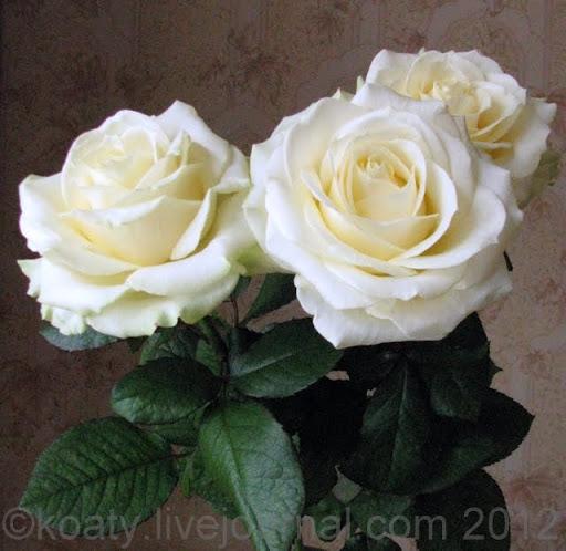 Белые розы в день рождения.