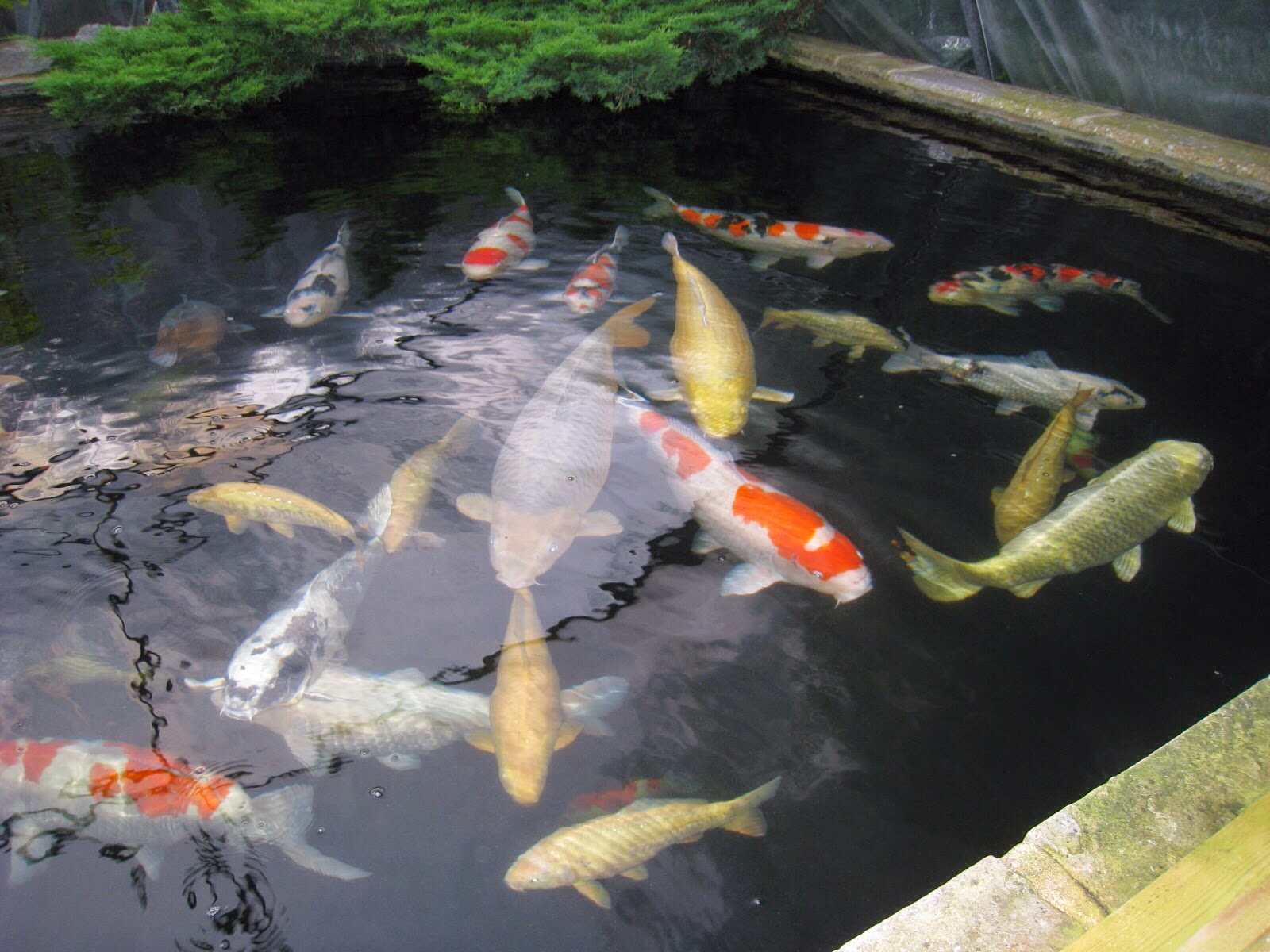 June 2014 kangei koi club for Koi pond water quality levels
