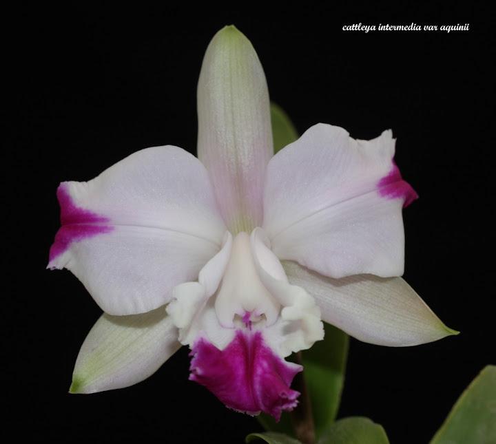 Cattleya intermedia var aquinii IMG_7967b%2520%2528Large%2529