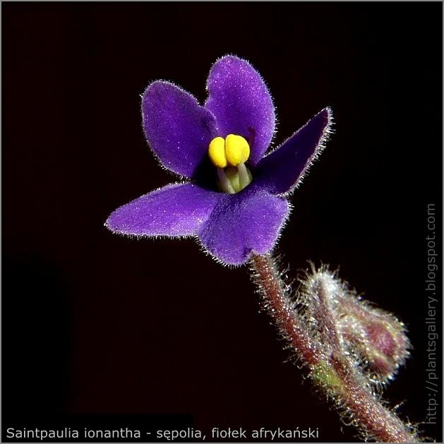 Saintpaulia ionantha flower - Fiołek afrykański, sępolia kwiat