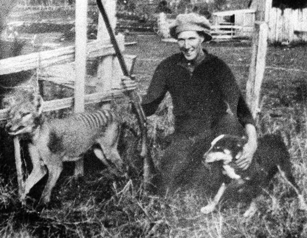 Quando o governo da Tasmânia suspendeu o incentivo às caças já era tarde, faltava pouco tempo para o animal ser extinto definitivamente.