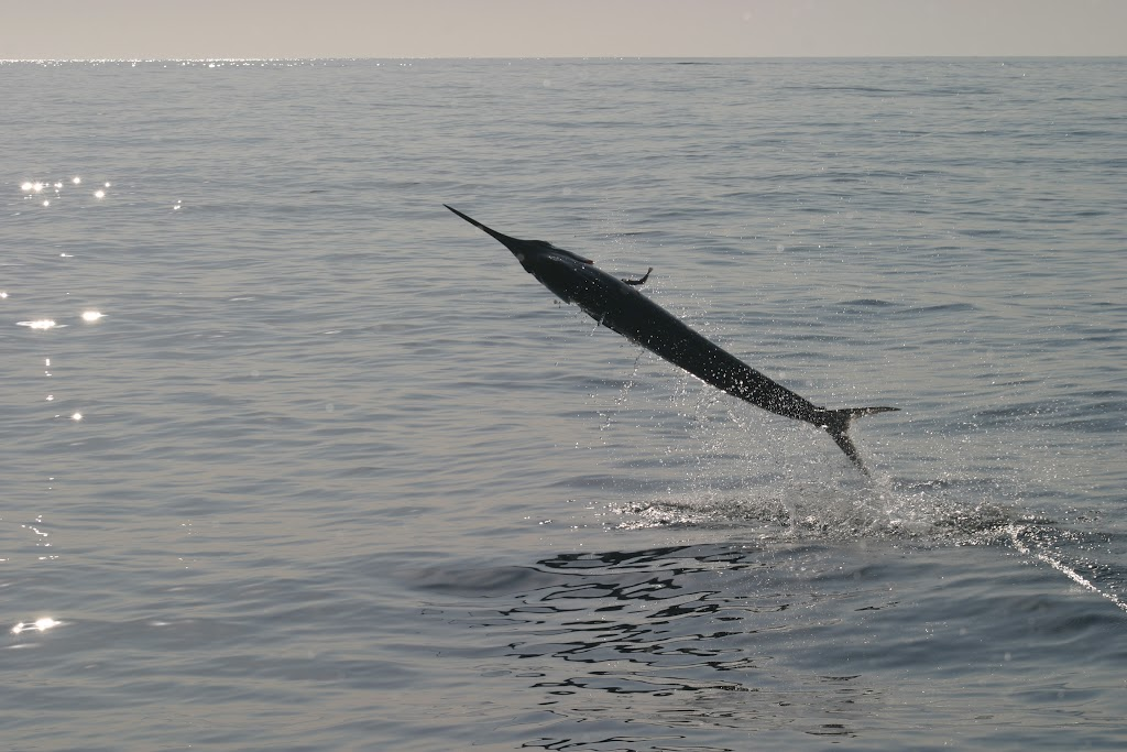 Mako Shark in action