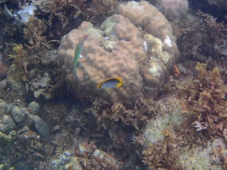 Chaetodon melannotus (Blackback Butterflyfish), Sand Island, Palawan, Philippines.
