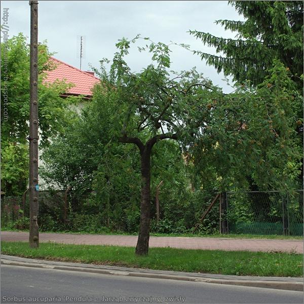 Sorbus aucuparia 'Pendula' - Jarząb zwyczajny, zwisły przykład wykorzystania w zieleni miejskiej