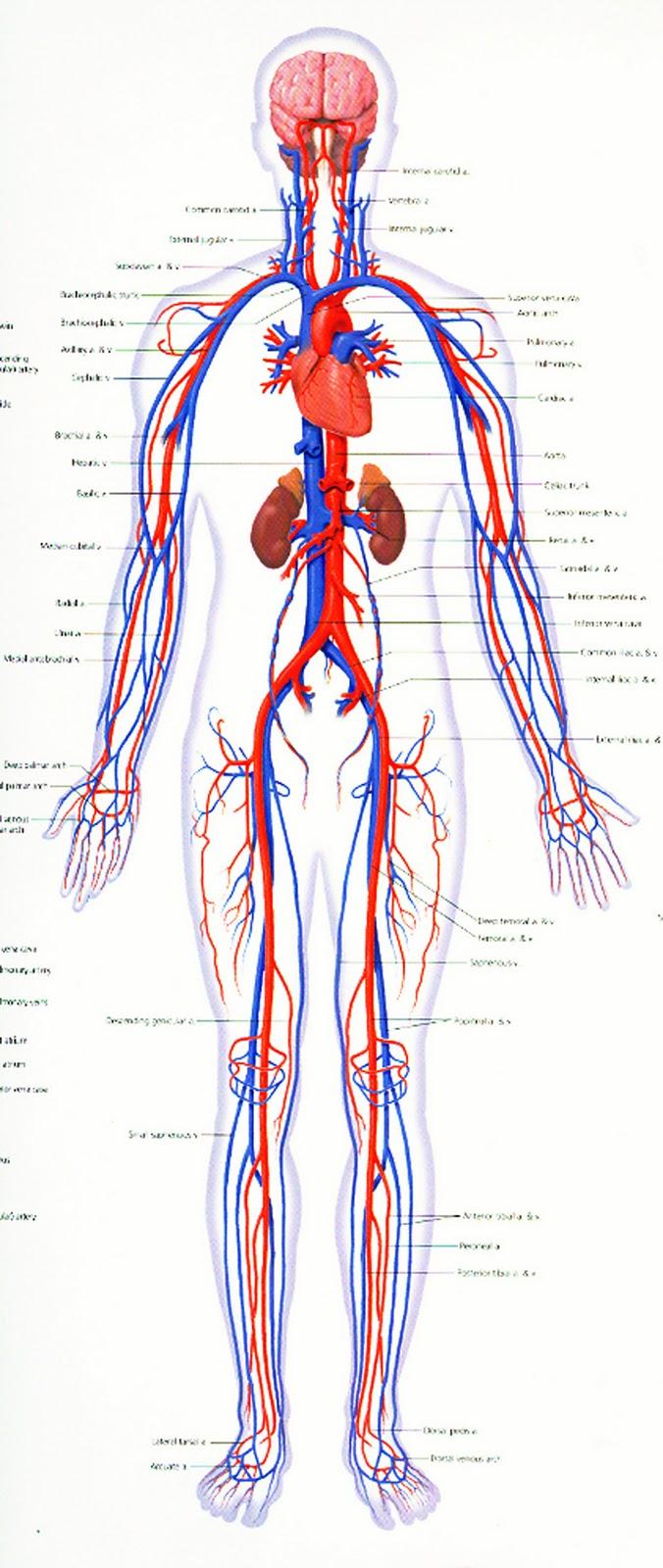 beberapa sistem organ penunjang dalam kehidupan antara lain 1 sistem