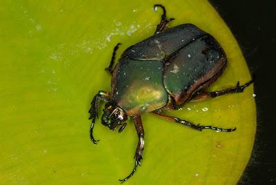 scarab beetles scarabaeidae nature sightings