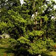 42 v záhrade rastie množstvo krásnych aspoň čiastočne tv arovaných stromov ako napr. tento záhradný Podocarpus.JPG