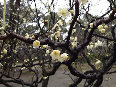 Closeup of white ume and branches