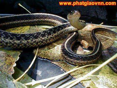 Cặp rắn tu ở chùa Trà Am (Huế)