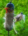 Bird nesting materials: Pet hair & yarn scraps in seed feeder