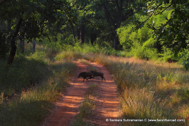Wild Boars cross the jeep track inside Tadoba Andhari Tiger Reserve