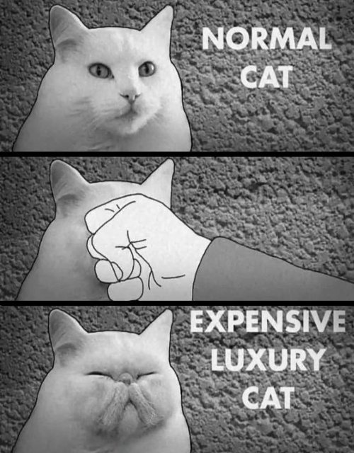 Normal Vs Expensive Luxury Cat