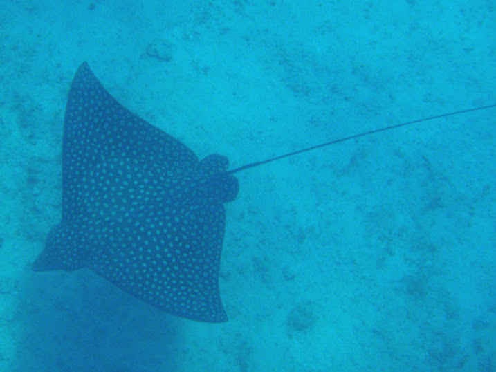 Aetobatus narinari (Spotted eagle Stingray), Ambergris Caye, Belize.