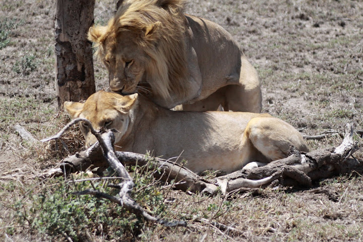 How Do Lions Have Sex 68