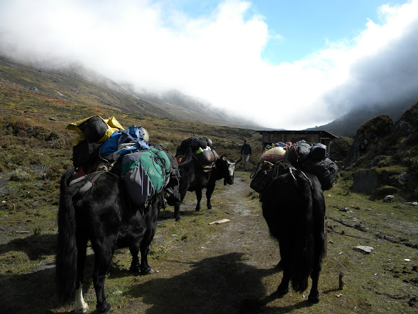 three yaks carring our luggage