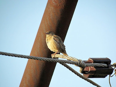 15-Oct-2011 House Sparrow female Pic: SK Srinivas