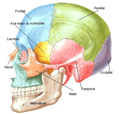 O cr nio humano for O osso esterno e dividido em
