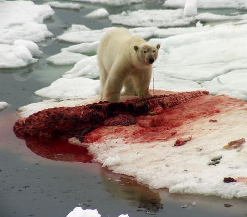 Urso pardo vs Urso polar 310999010_45605919e4