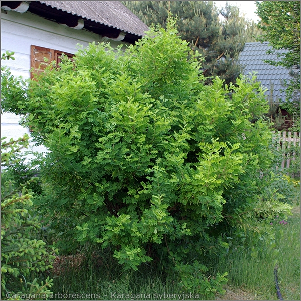 Caragana arborescens - Karagana syberyjska pokrój
