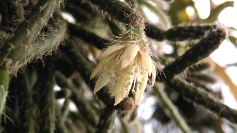Rhipsalis pilocarpa IMAG0341