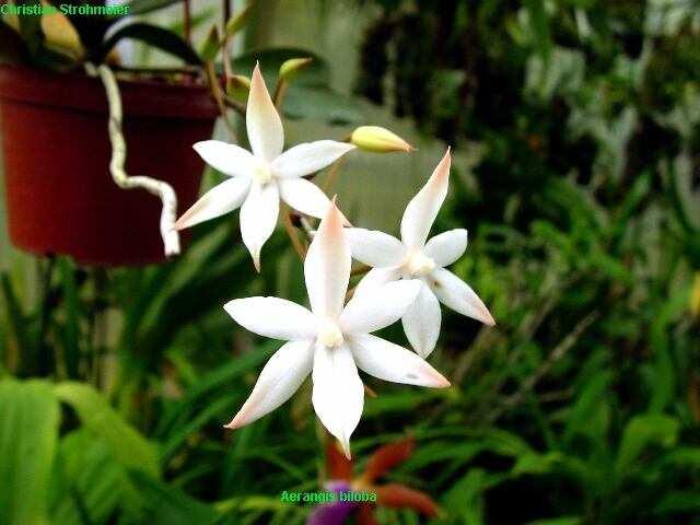 Растения из Тюмени. Краткий обзор Aerangis_biloba_02
