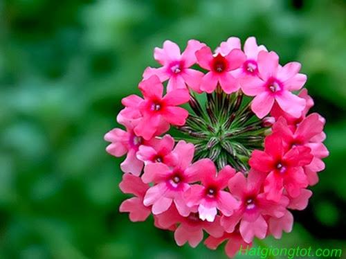 Cận cảnh hoa phong lữ thảo