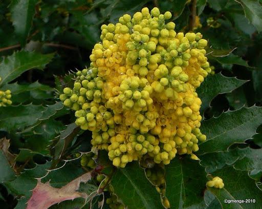 Mahonia aquifolium - Mahonia à feuille de houx