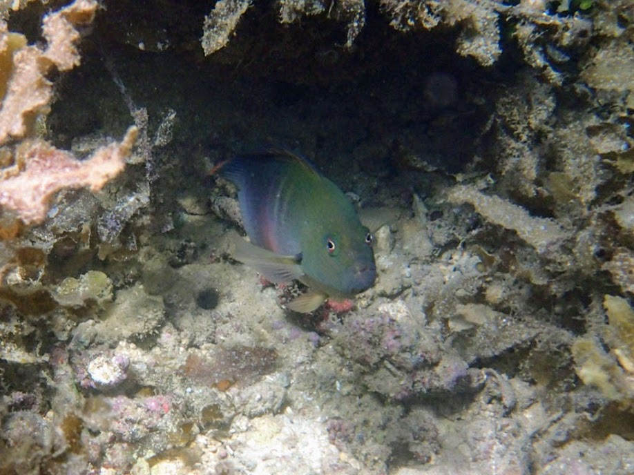 Labracinus cyclophthalmus (Firetail Dottyback),Chindonan Island, Palawan. Philippines.
