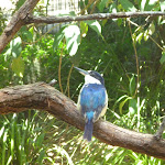 Kingfisher at the Wildlife Exhibits in Carnley Ave Reserve (402049)