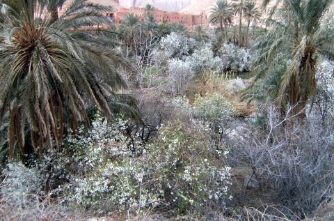 Verschneite Palmen in der Todra-Schlucht, Atlas-Gebirge, Marokko