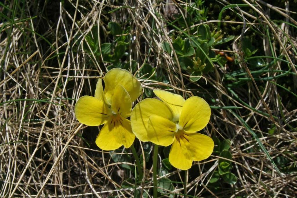 Viola zoysii