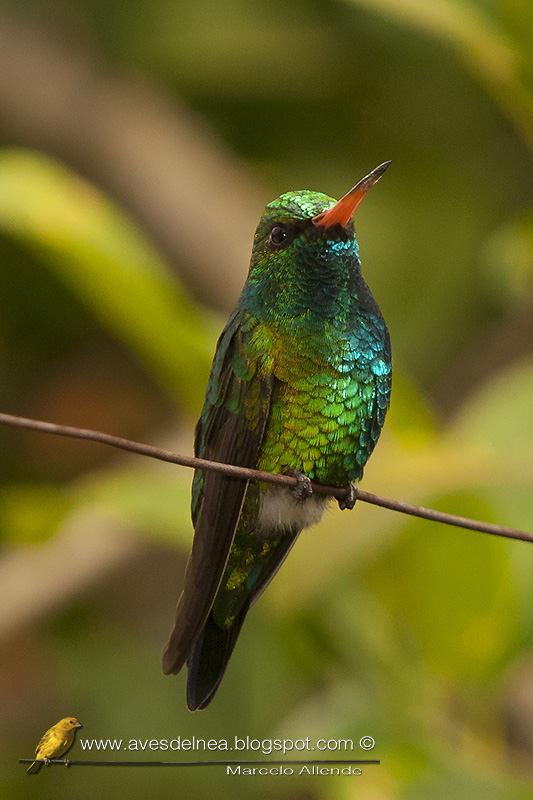 Picaflor común (Glittering-bellied Emerald)