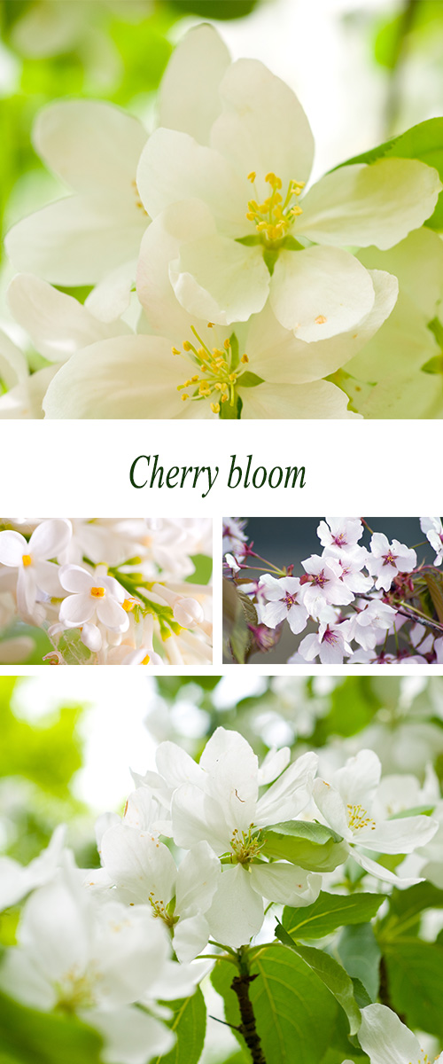 Stock Photo: Cherry bloom. Flowers of fruit trees