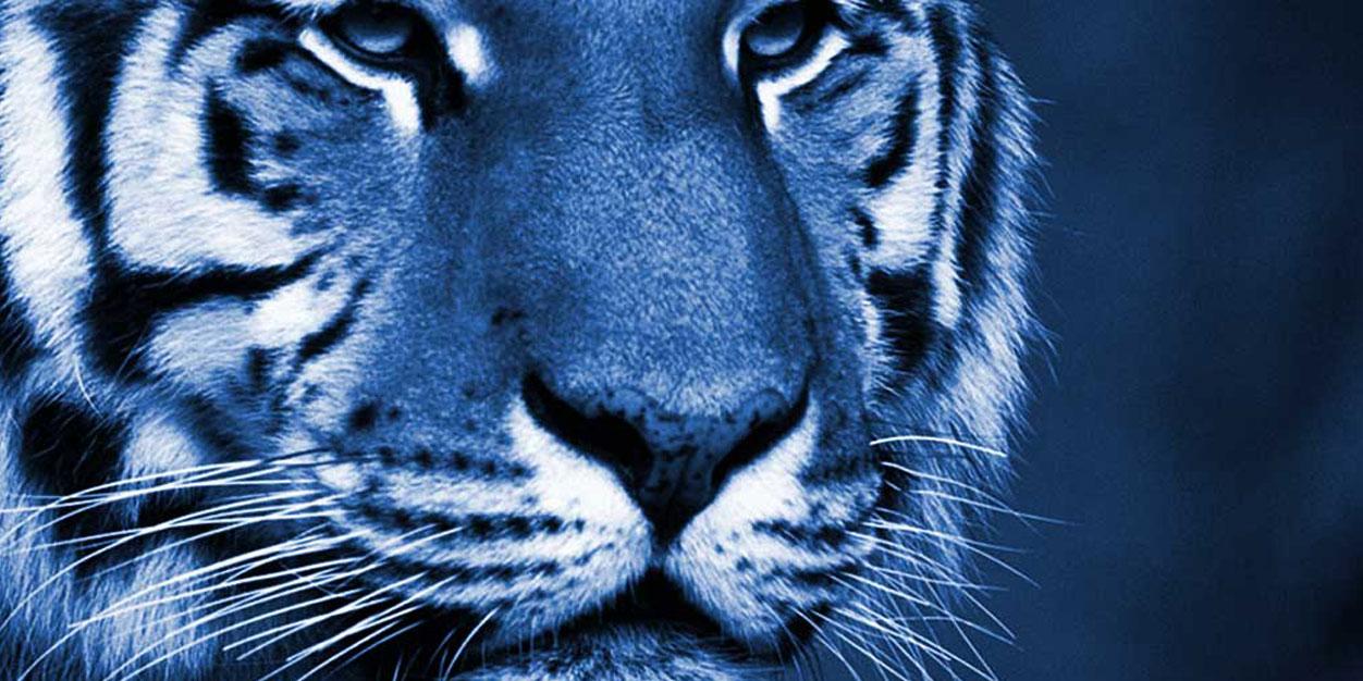 Blue Tiger Blue tiger interactive