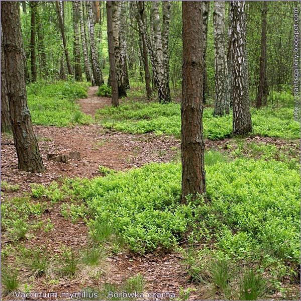 Vaccinium myrtillus - Borówka czarna przykładowe środowisko wystepowania